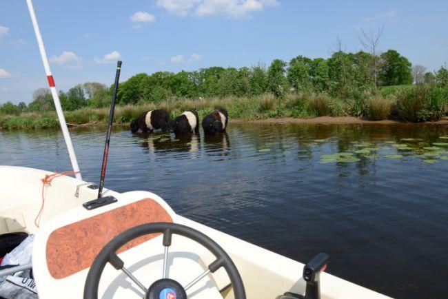 Koeien zoeken verkoeling in de Vecht