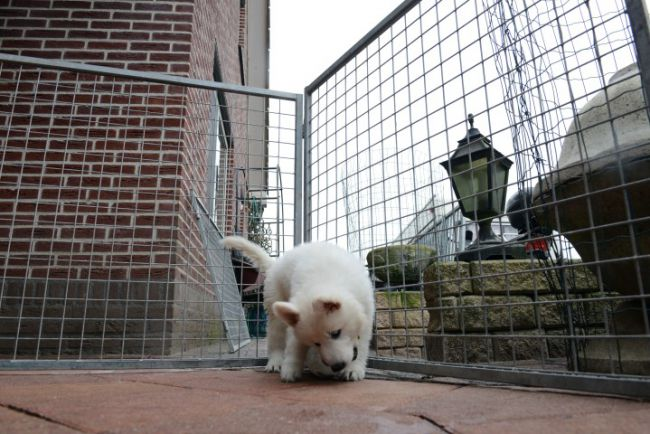 Deze pup loopt rond in de ren en is hier zes weken oud