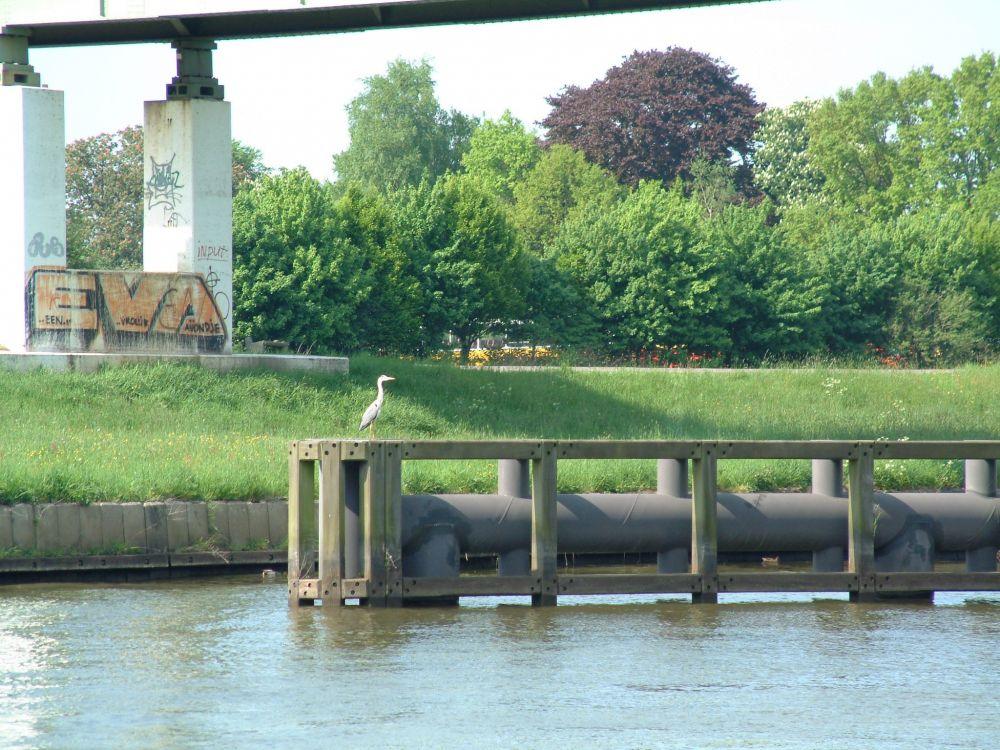 Een prachtige concurrent; een reiger op het dukdalf in het Zwolle IJsselkanaal