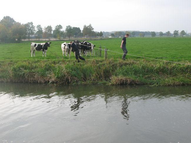 de_koeien_kijken_toe